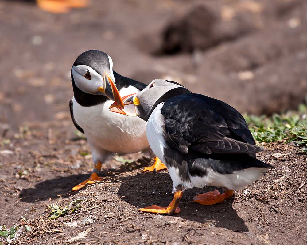 IMAGE: http://www.1stdesignit.co.uk/Farnes/Puffin_love-7814web.jpg