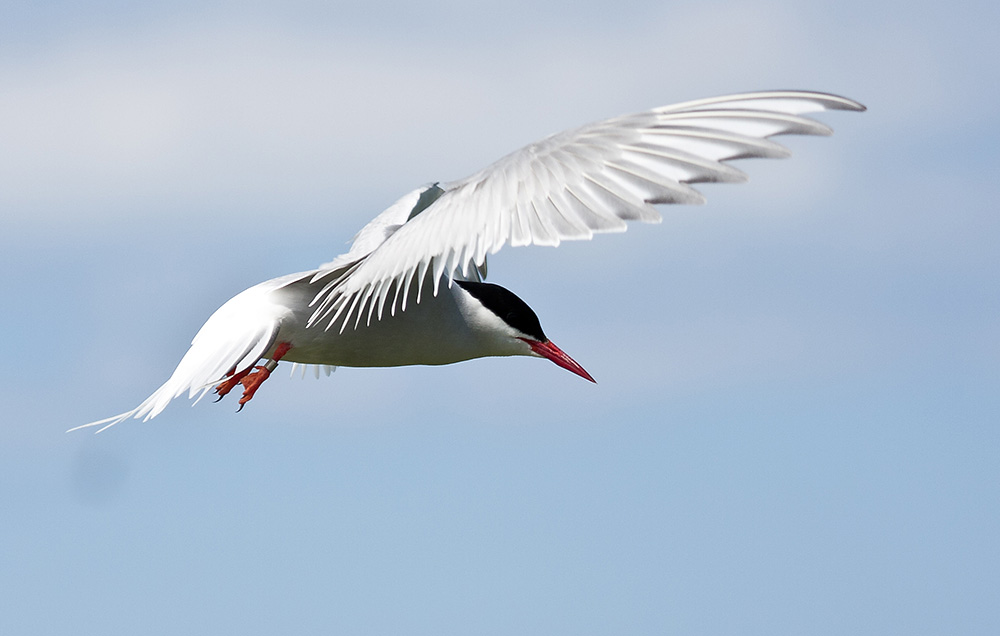 IMAGE: http://www.1stdesignit.co.uk/Farnes/Tern_flight-7759web.jpg